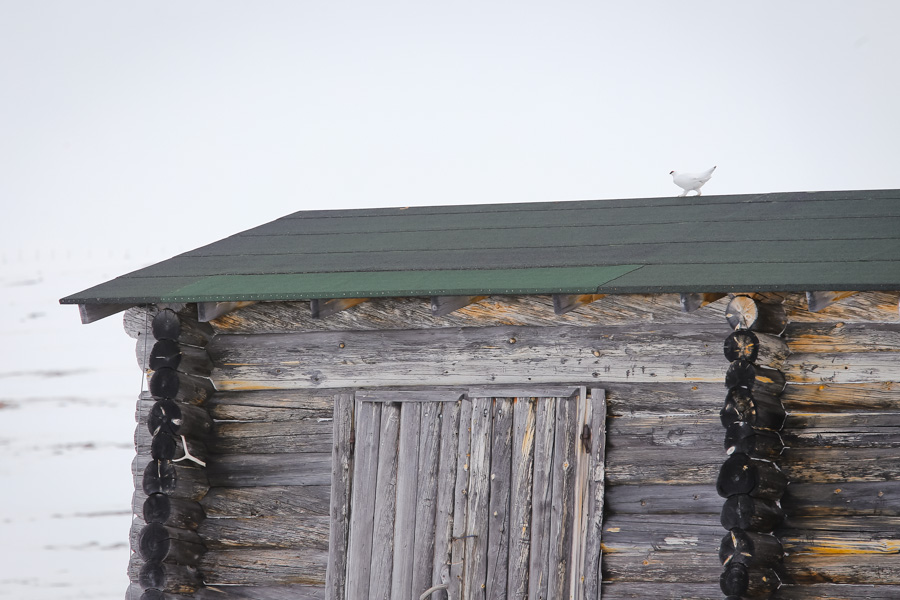 Rock ptarmigan (Lagopus muta) - kiiruna Pitsusjärvi pithsusjärvi