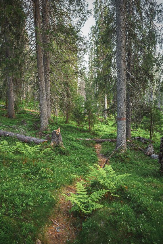 Paljakan luonnonpuisto Paljakka vanha metsä Puolanka