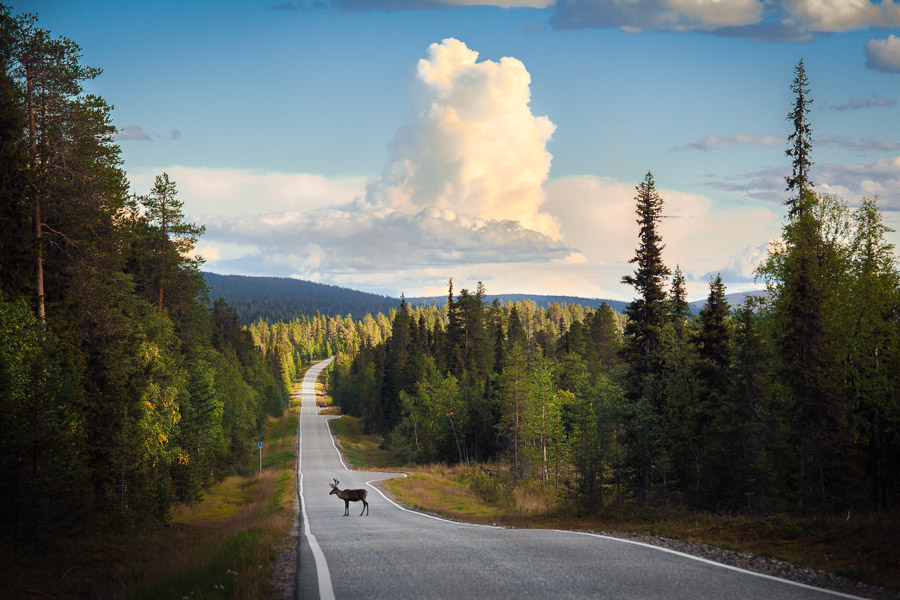 Reindeer lapland Äkäslompolo road, Muonio, Lapland