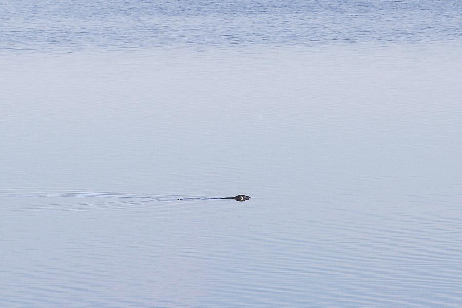 Norppa Linnansaaren kansallispuisto Linnansaari melonta kayaking Finland Saimaa Lake Savonlinna